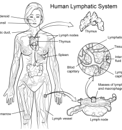 1199x899 lymphatic system coloring sheets lymphatic system coloring page [ 1199 x 899 Pixel ]