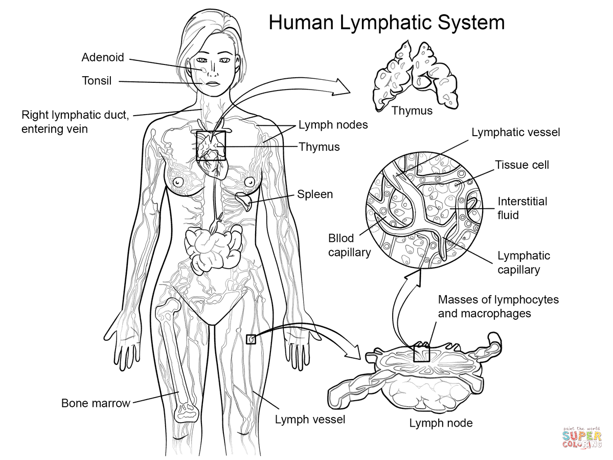 hight resolution of 1199x899 lymphatic system coloring sheets lymphatic system coloring page