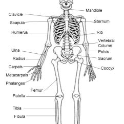 Concept Map Skeletal System Diagram Cat5e Jack Wiring Drawing At Getdrawings.com | Free For Personal Use Of ...