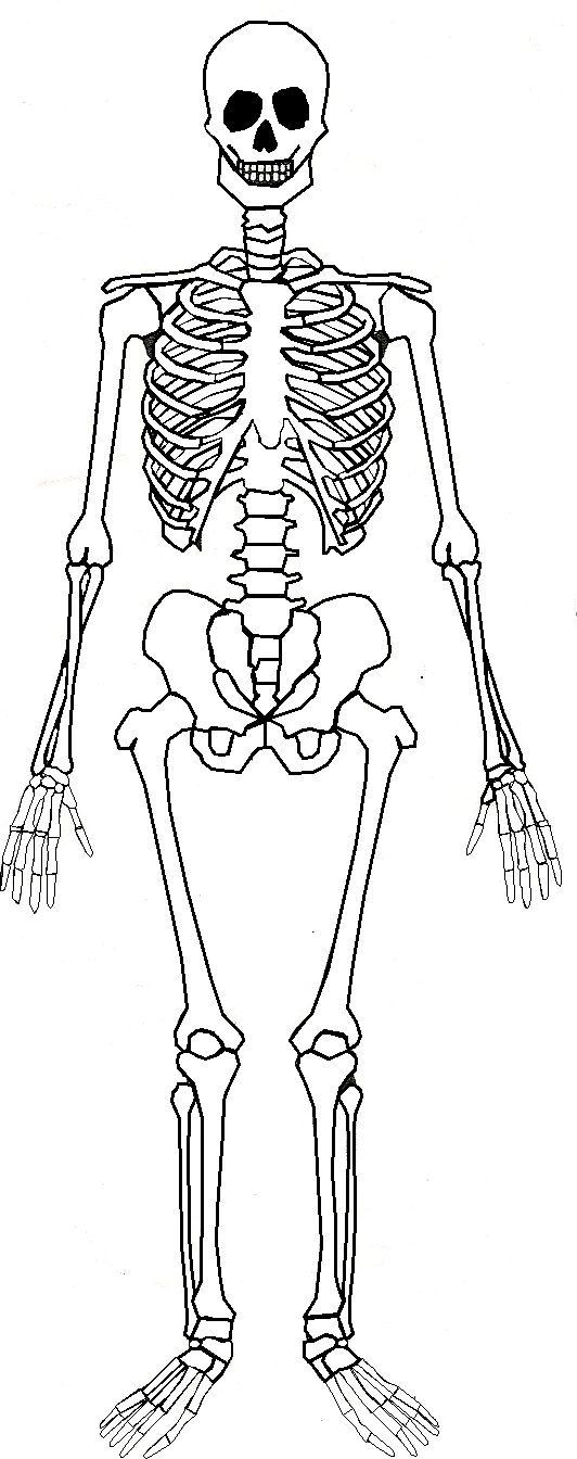 Skeletal System Drawing At Getdrawings Com