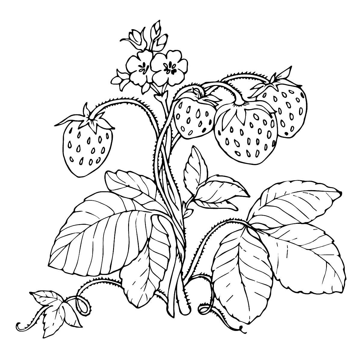 Strawberry Plant Drawing At Getdrawings