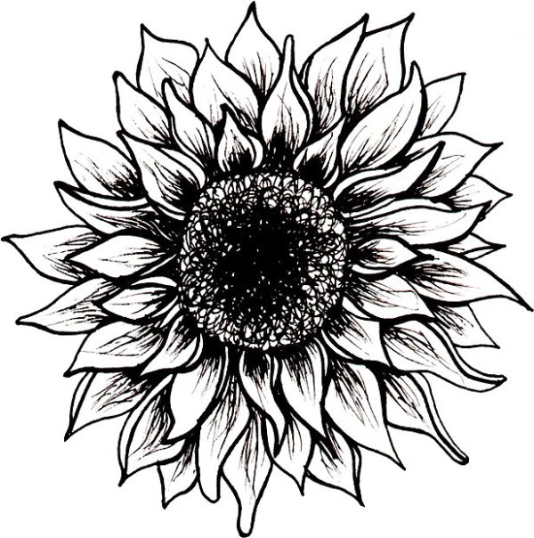 sunflower black and white drawing