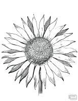 Van Gogh Sunflowers Drawing at GetDrawings   Free download