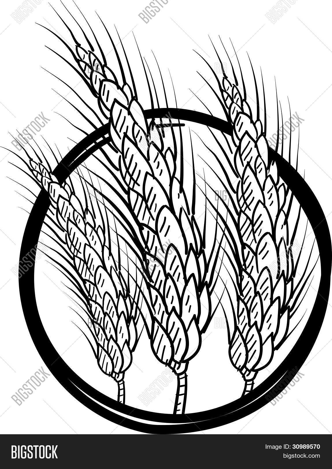 Wheat Line Drawing At Getdrawings