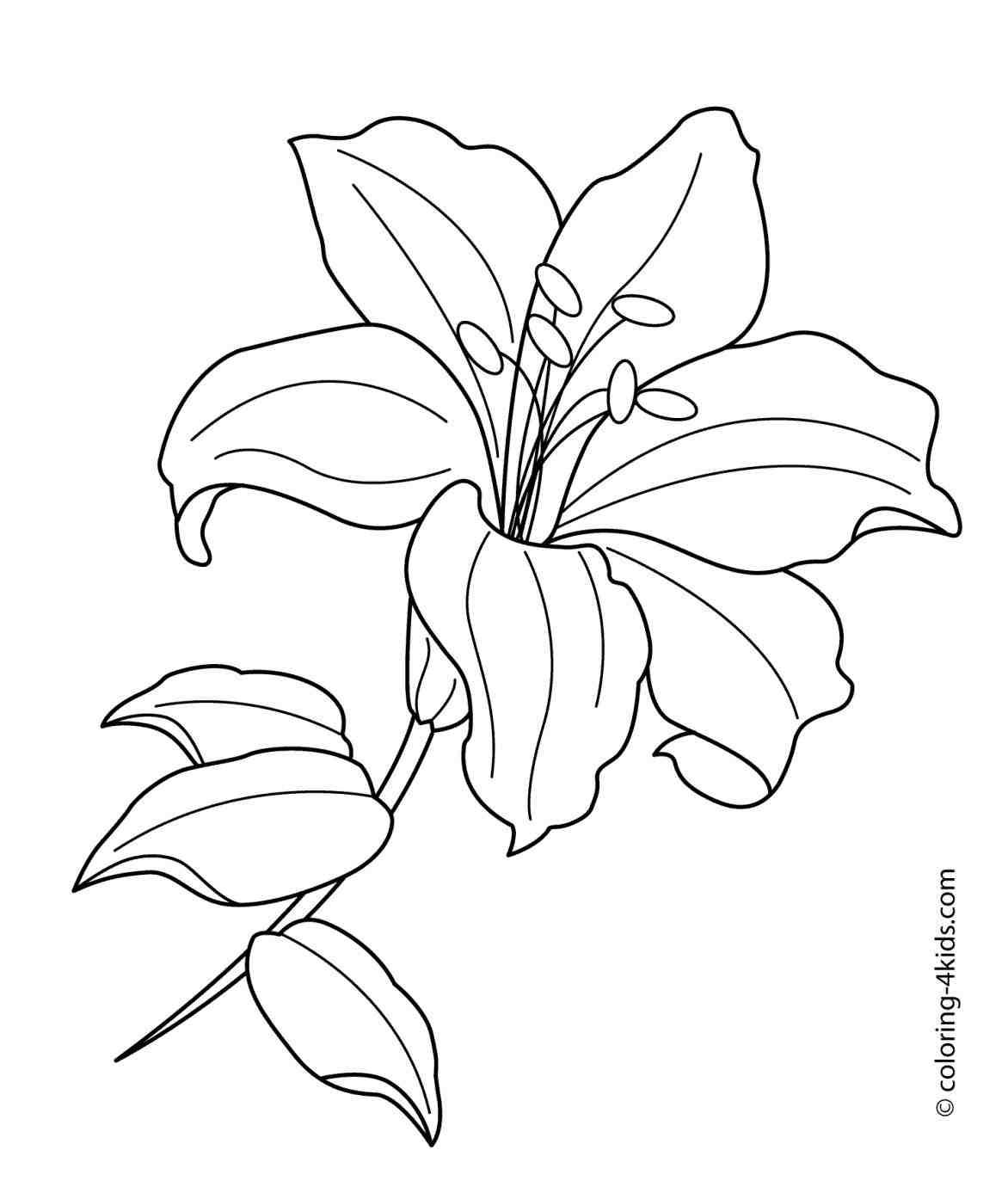 Drawing Coloring Outline Lily Flowers Pictures Picturesboss