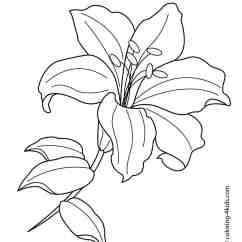 Lily Diagram Printable Isuzu Wiring Npr White Flower Drawing At Getdrawings Free For