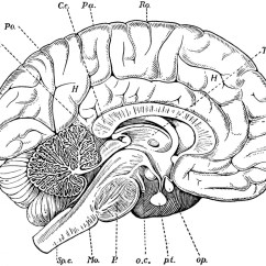 Brain Diagram Without Labels Wiring Symbol Key Drawing With At Getdrawings Free For