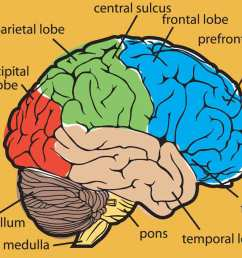 1200x937 collection of brain drawing with labels high quality free [ 1200 x 937 Pixel ]