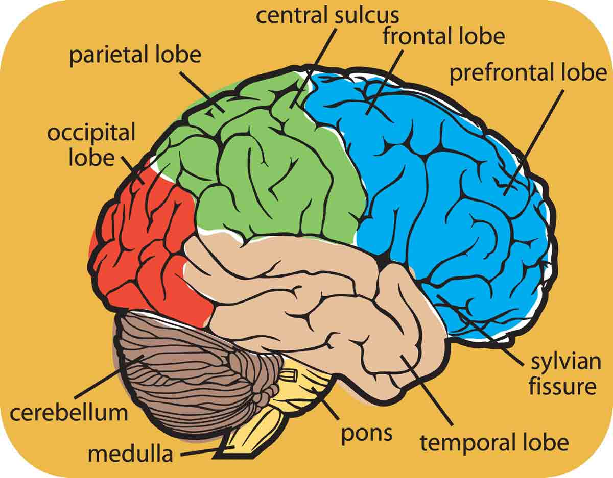 hight resolution of 1200x937 collection of brain drawing with labels high quality free