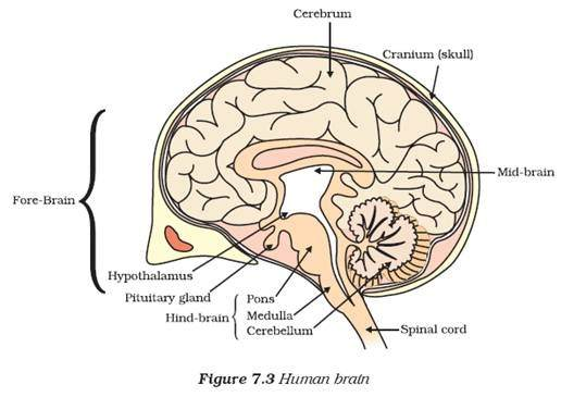 brain diagram without labels simple epithelial cell pictures of human with best 2018 colored auto wiring today
