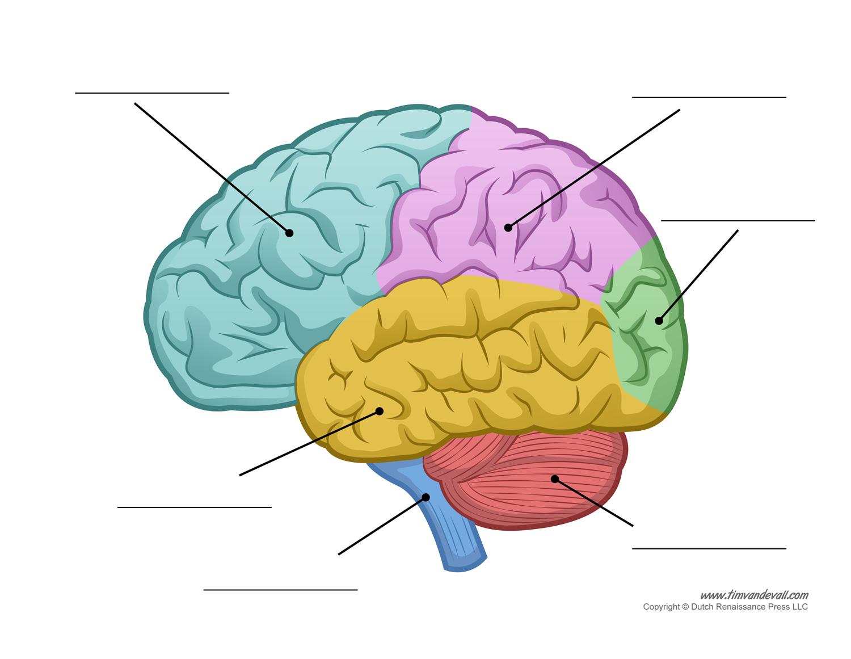 hight resolution of 1500x1161 human brain diagram