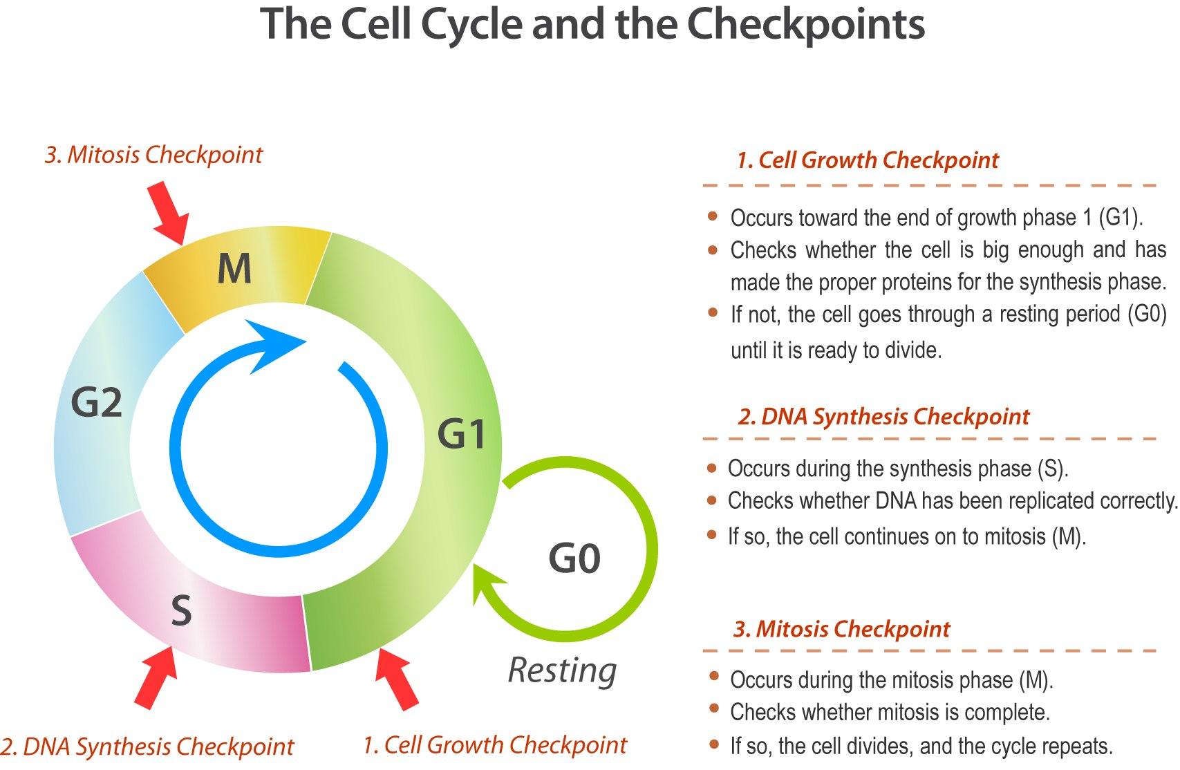 Cell Cycle Drawing Worksheet At Getdrawings