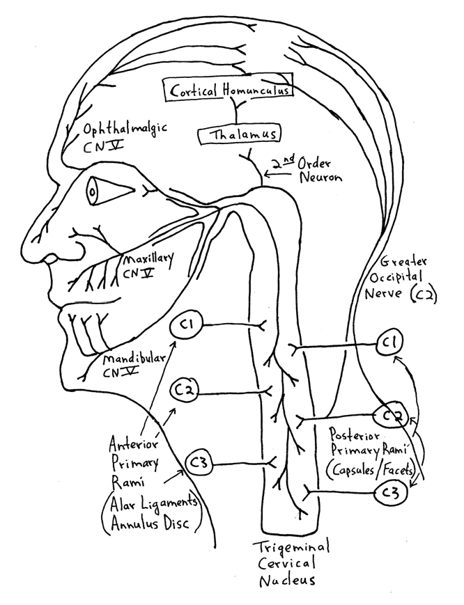 Cranial Nerve Face Drawing With Numbers at GetDrawings.com