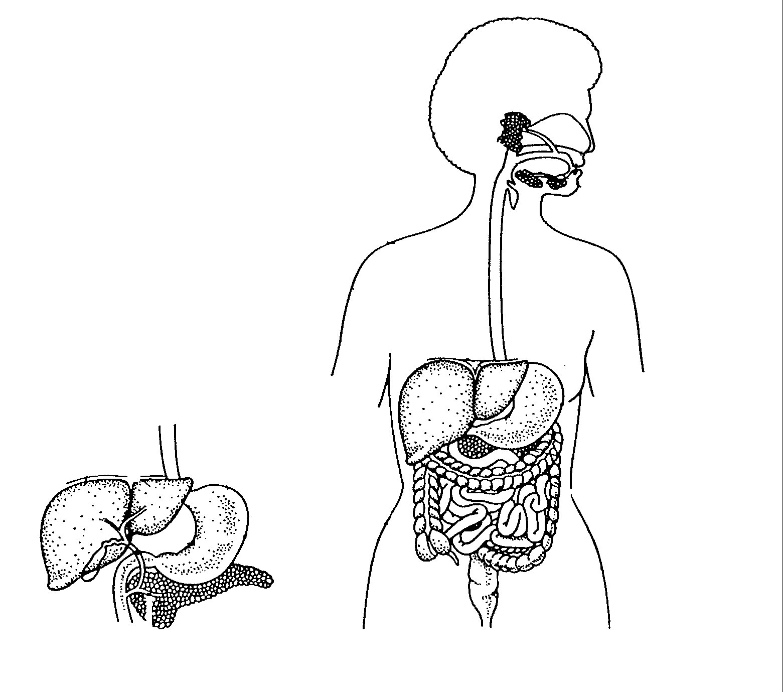 Label Human Digestive System