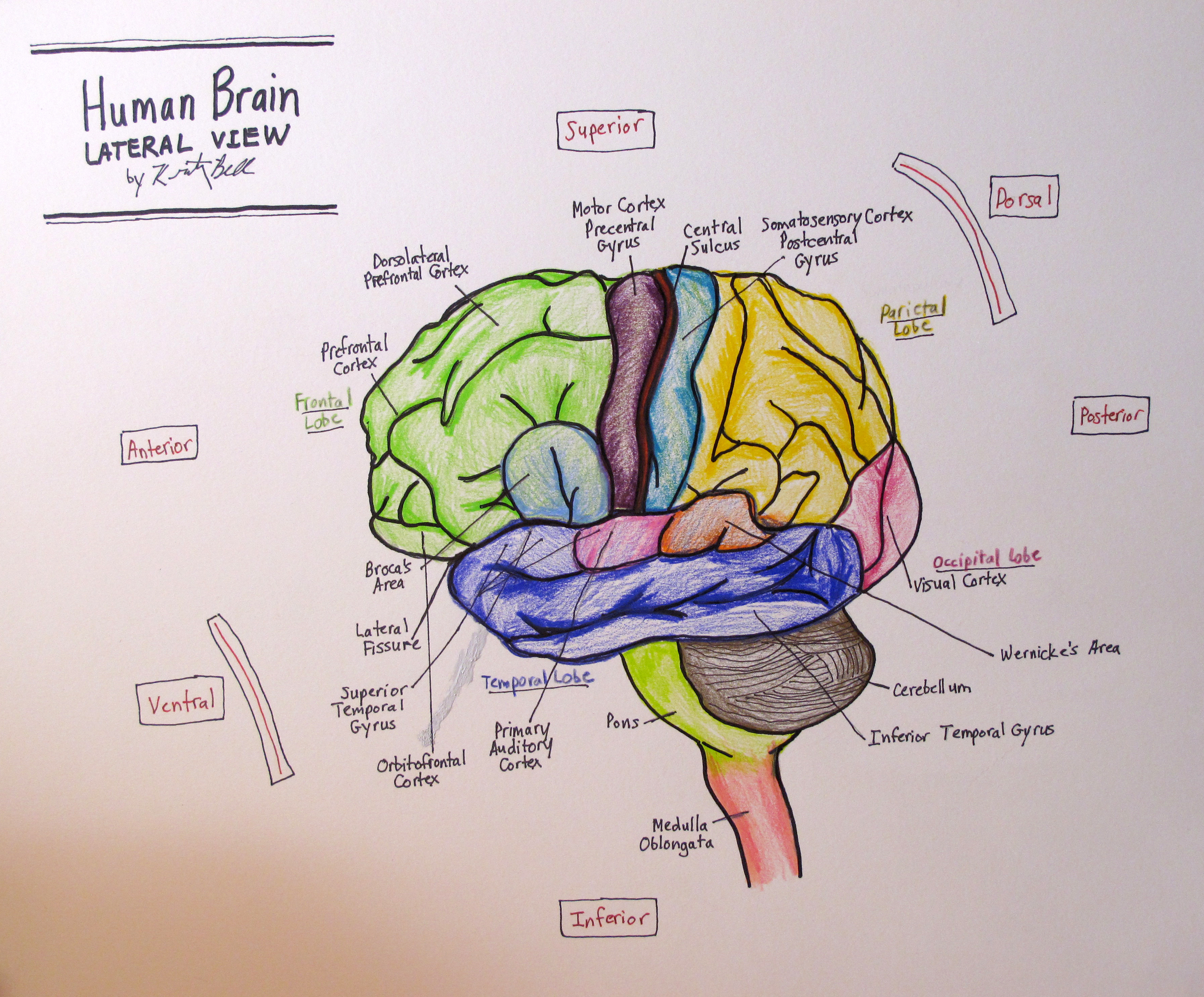 Drawing Of The Brain With Labels At Getdrawings