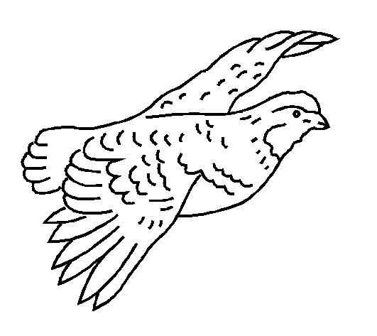Ruffed Grouse Drawings