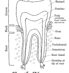 1275x1651 human teeth black and white diagram with mouth dental tooth chart [ 1275 x 1651 Pixel ]
