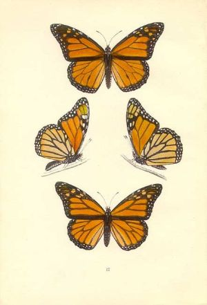 butterfly monarch drawing butterflies tattoo antique sketch side botanical prints illustration moth designs coloring garden painting tattoos morris genuine monarque