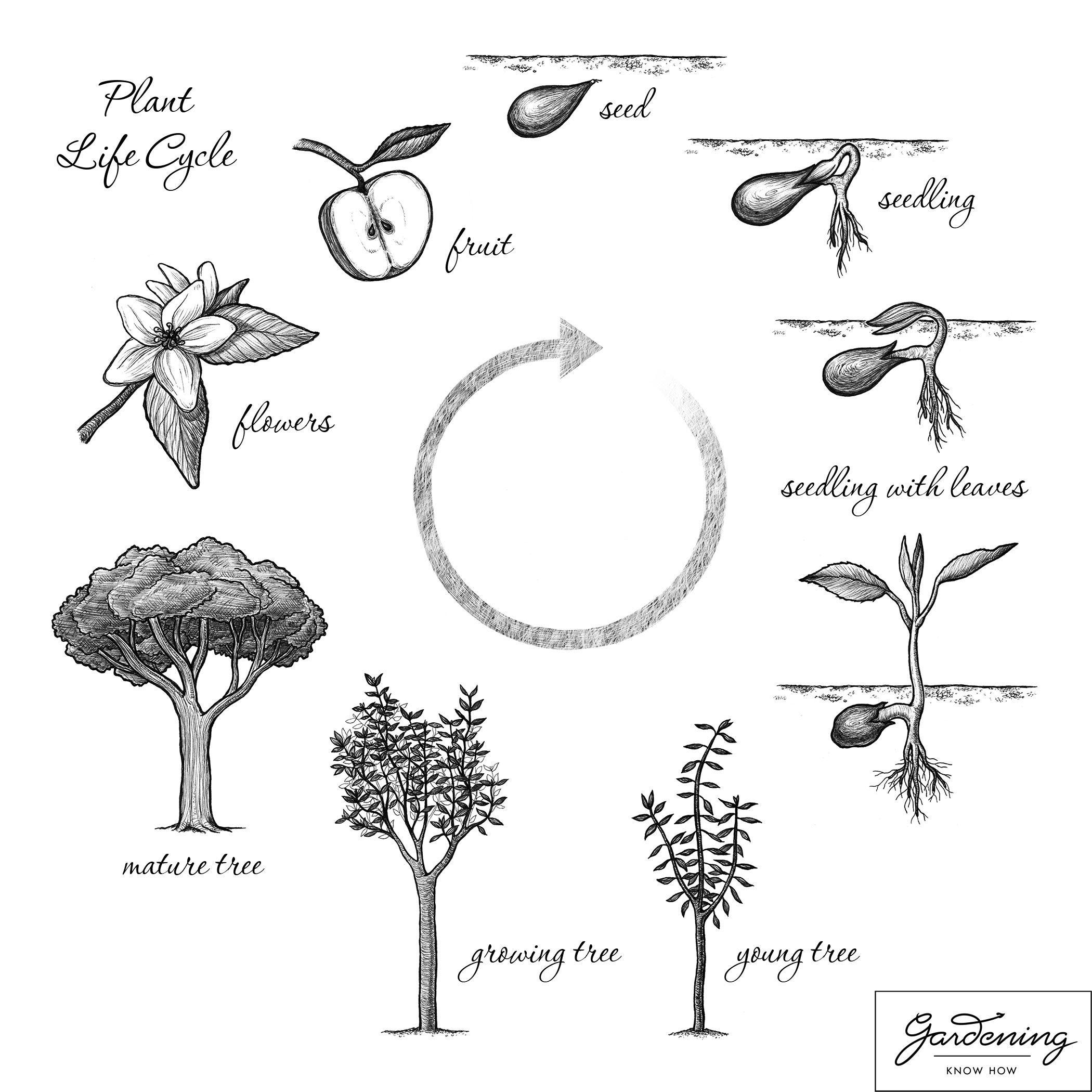 Plant Life Cycle Drawing At Getdrawings