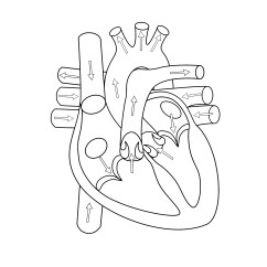 Anatomical Heart Diagram 3 Way Switch Two Lights Simple Drawing At Getdrawings Com Free For 2480x3508 Body Anatomy Choice Image