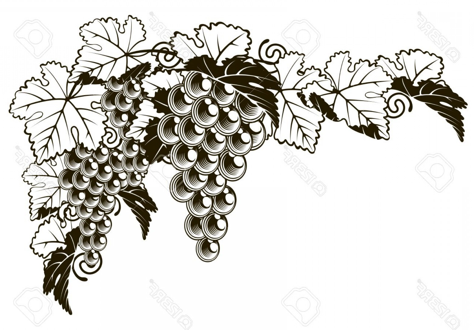 hight resolution of 1560x1086 photostock vector an original illustration of a grapes on a grape