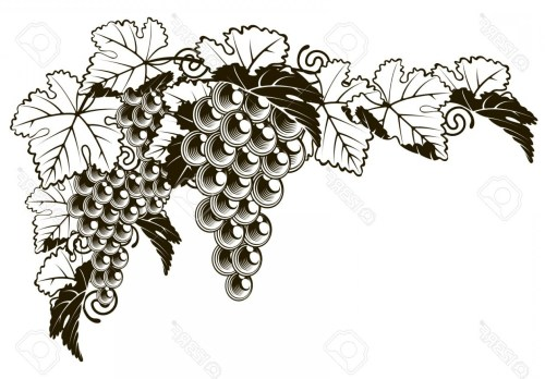 small resolution of 1560x1086 photostock vector an original illustration of a grapes on a grape