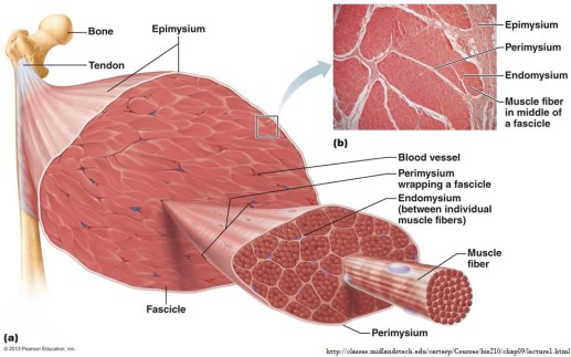 Muscle Anatomy 2