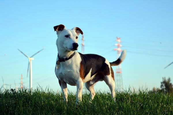 Jack-Russel-Terrier-or-Terrier-in-general