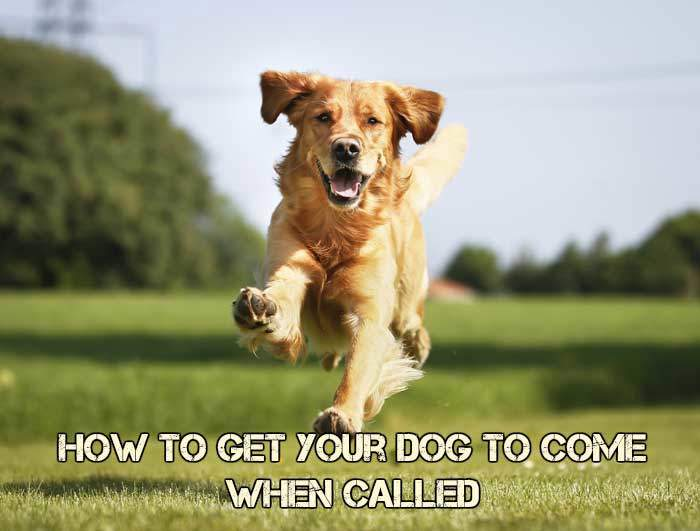 How To Get My Dog To Come When I Call Her