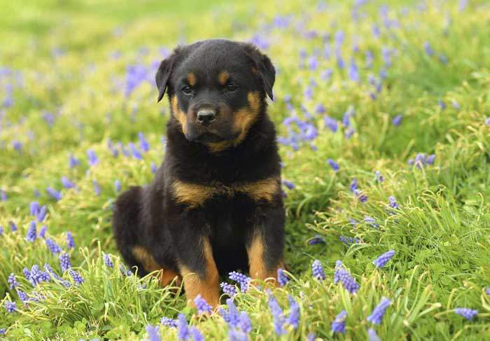 Rottweiler Dog Breed - Is A Rottweiler A Good Family Dog?