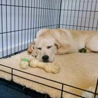 how-to-stop-your-puppy-from-crying-in-his-crate