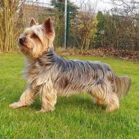 Obedience training for Yorkshire terrier