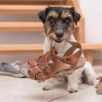 How do you stop a dog from chewing shoes?