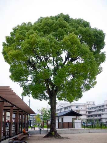 a-bombed camphor tree