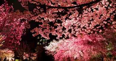 Yozakura illuminated cherry blossoms at Shukkei-en