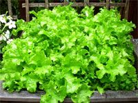 Lettuce: healthy and low calorie food