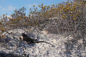 beach iguana 2 sm