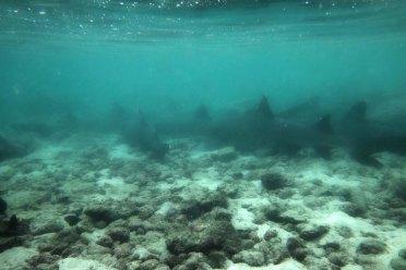 sharks1 sm
