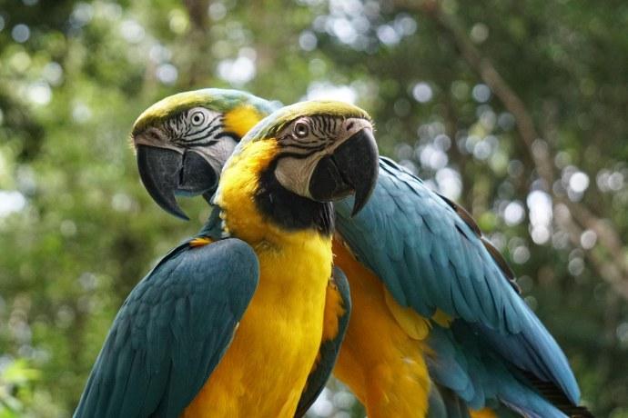32 parrot pair sm