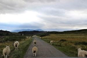 Organizzare-viaggio-Scozia - Scotland-pecore