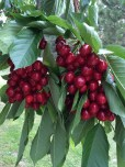 The sweet cherries, two weeks from ripeness.