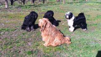 Our Tibetan Terriers, the perfect dog for mountain life.