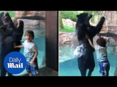 Adorable moment of bear jumping with little boy at the zoo – Daily Mail