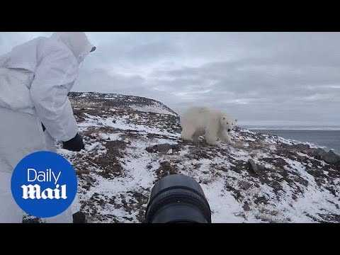 Fearless photographer chases off polar bear when it gets too close - Daily Mail