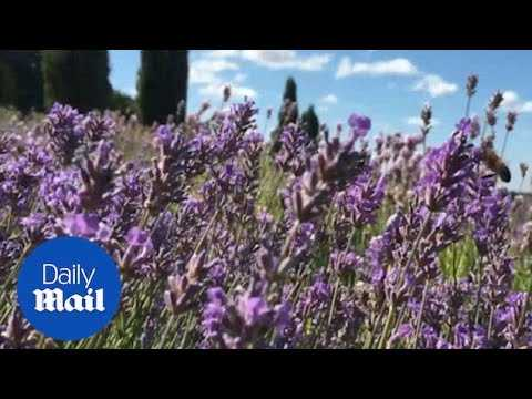 Lavender comes into bloom in North Yorkshire - Daily Mail