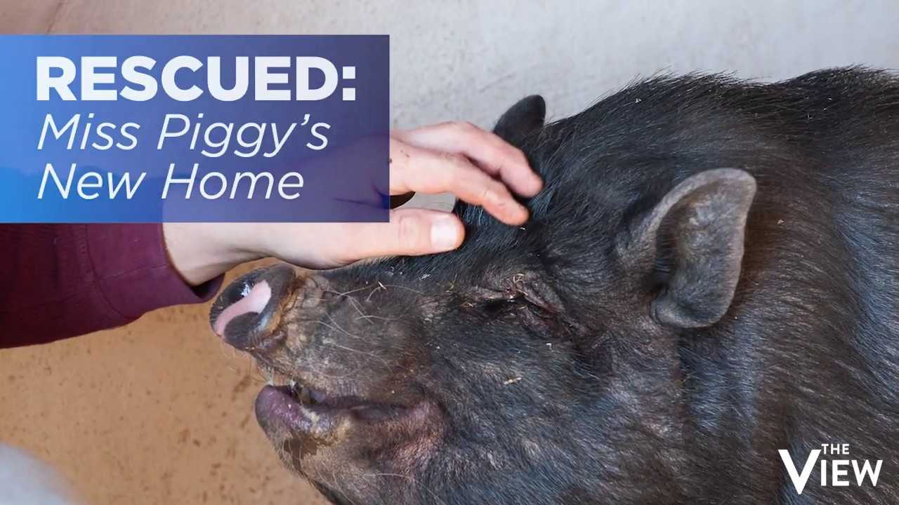 RESCUED: Meet Miss Piggy | The View