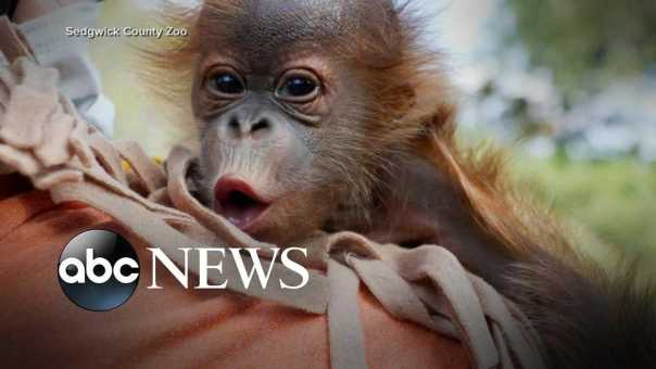 Vets call OB-GYN during orangutan's labor complications