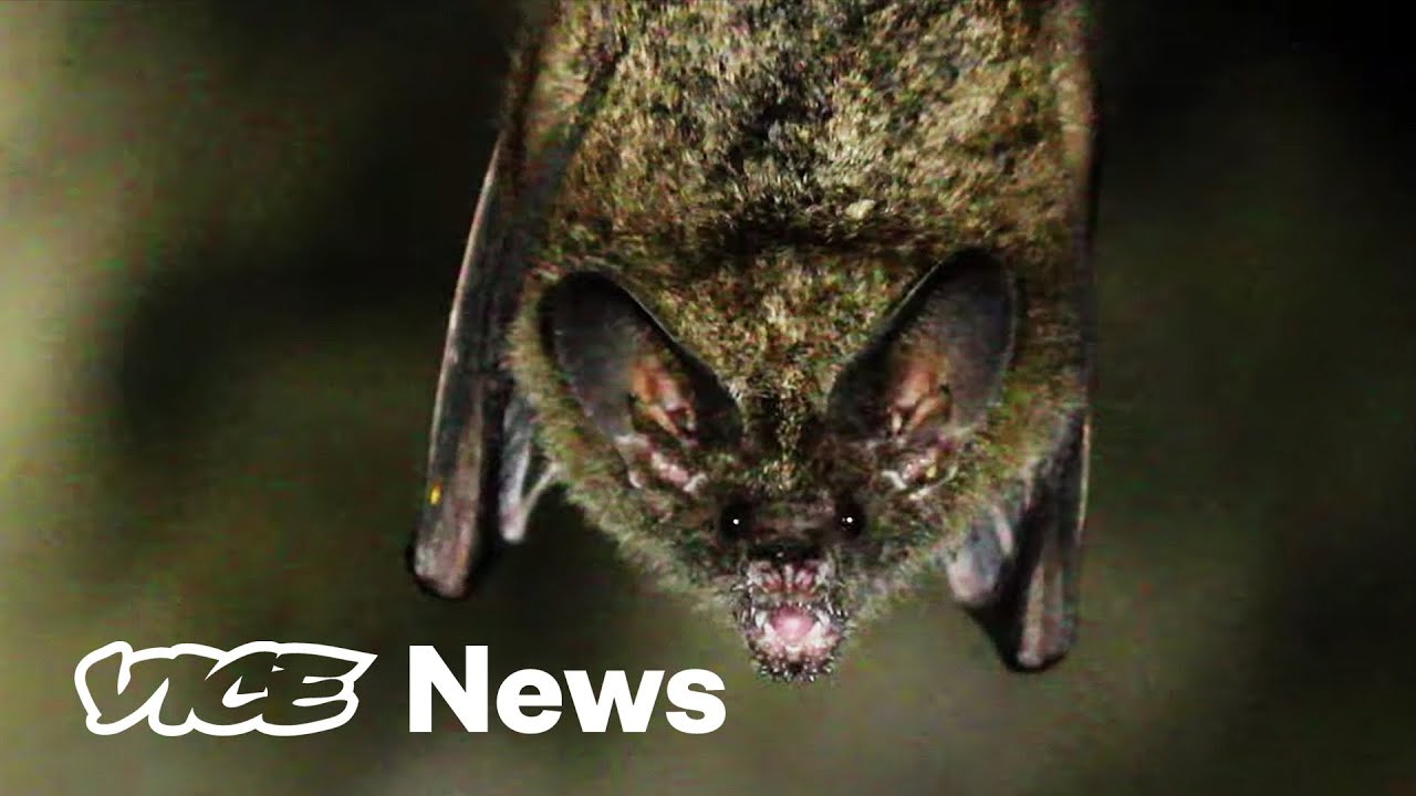 Vampire Bats Are Making Feral Hogs a Breeding Ground for Disease