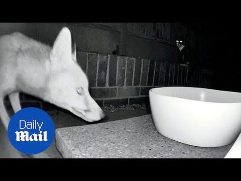 Brave cat terrifies fox three times its size