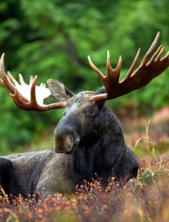 Ontario Moose and Bear Hunting Vacations